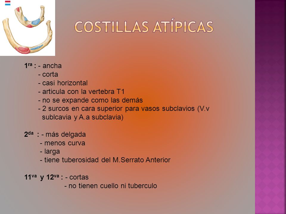 Costillas Atípicas 1ra : - ancha - corta - casi horizontal
