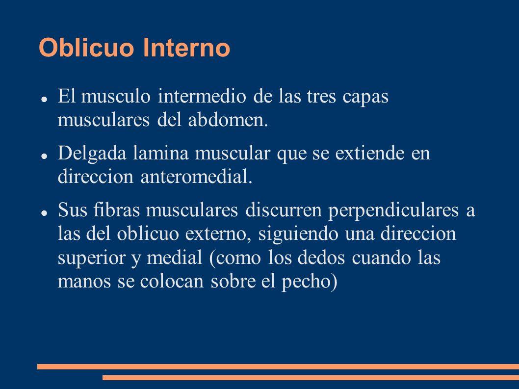 Oblicuo Interno El musculo intermedio de las tres capas musculares del abdomen. Delgada lamina muscular que se extiende en direccion anteromedial.