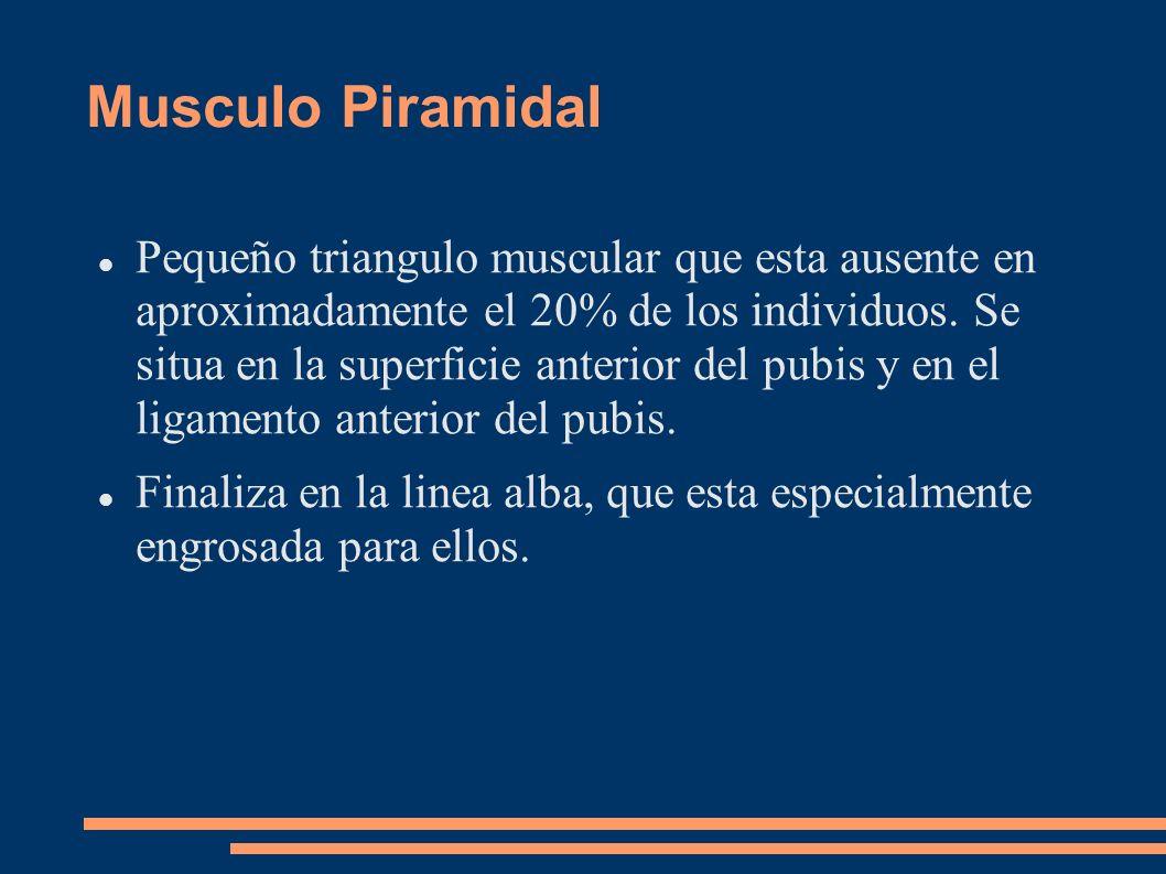 Musculo Piramidal