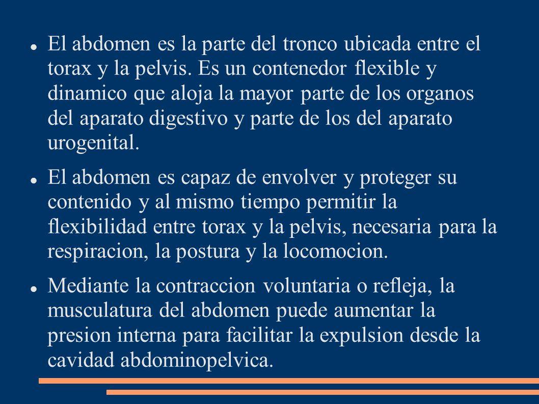 El abdomen es la parte del tronco ubicada entre el torax y la pelvis