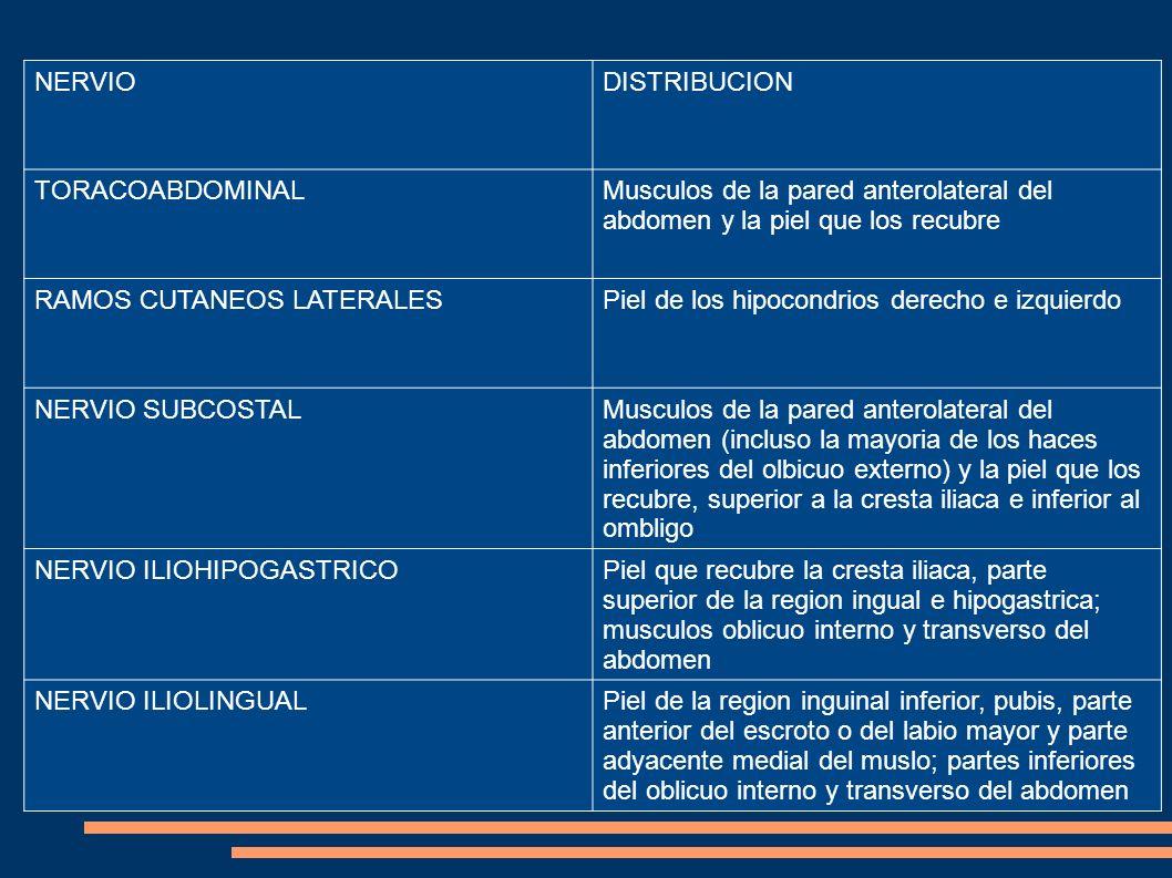NERVIO DISTRIBUCION. TORACOABDOMINAL. Musculos de la pared anterolateral del abdomen y la piel que los recubre.