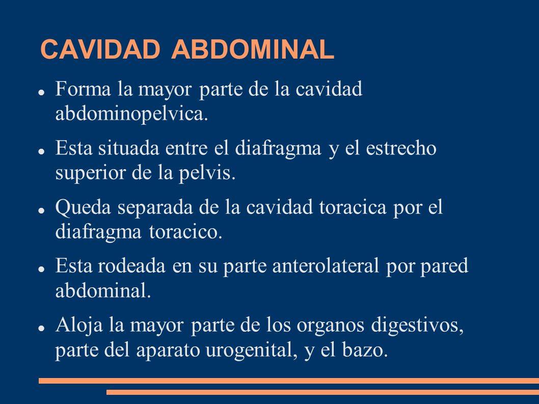 CAVIDAD ABDOMINAL Forma la mayor parte de la cavidad abdominopelvica.