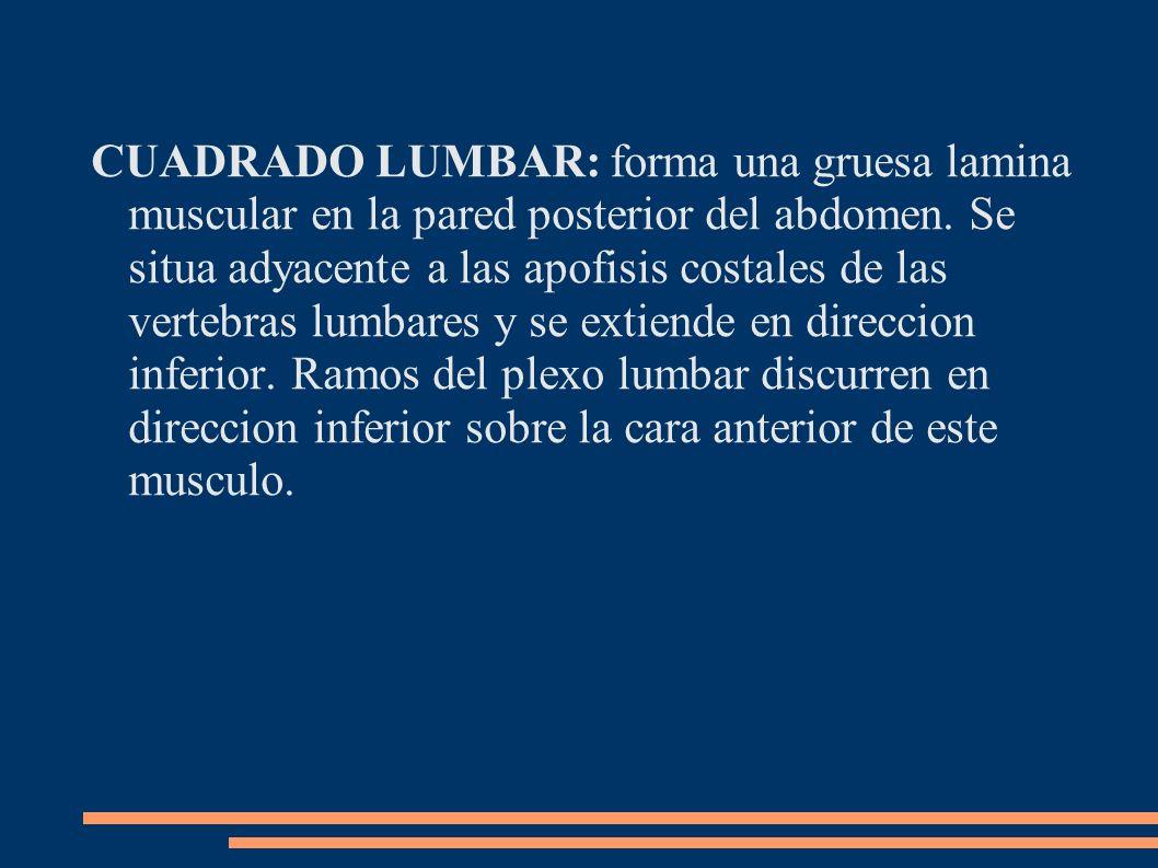 CUADRADO LUMBAR: forma una gruesa lamina muscular en la pared posterior del abdomen.