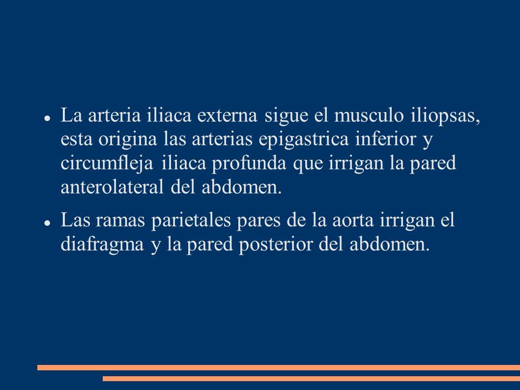 La arteria iliaca externa sigue el musculo iliopsas, esta origina las arterias epigastrica inferior y circumfleja iliaca profunda que irrigan la pared anterolateral del abdomen.