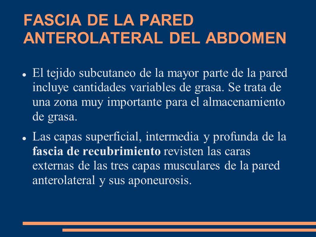 FASCIA DE LA PARED ANTEROLATERAL DEL ABDOMEN