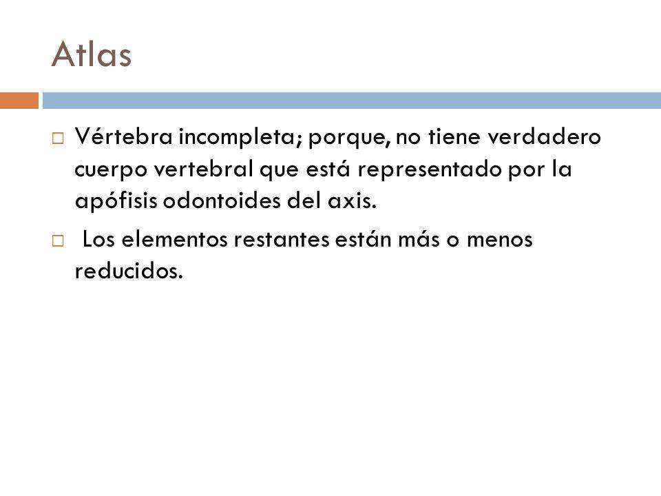 Atlas Vértebra incompleta; porque, no tiene verdadero cuerpo vertebral que está representado por la apófisis odontoides del axis.