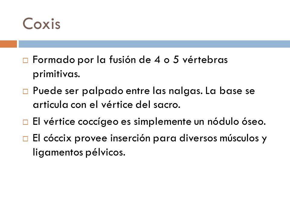 Coxis Formado por la fusión de 4 o 5 vértebras primitivas.