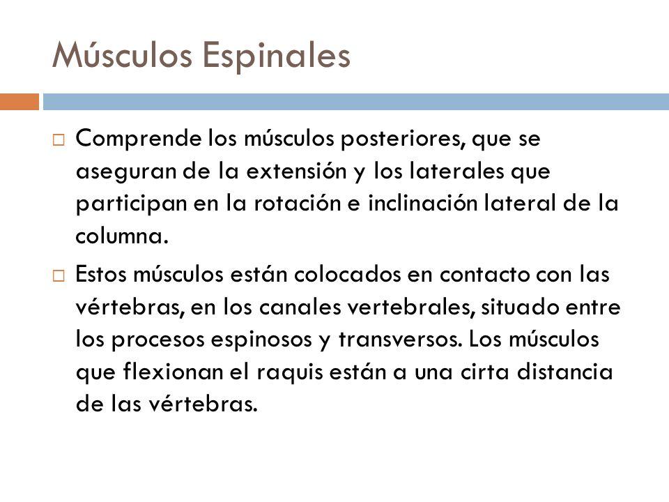 Músculos Espinales