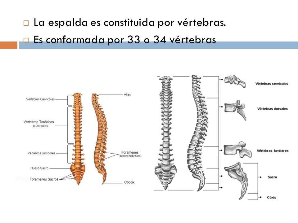La espalda es constituida por vértebras.