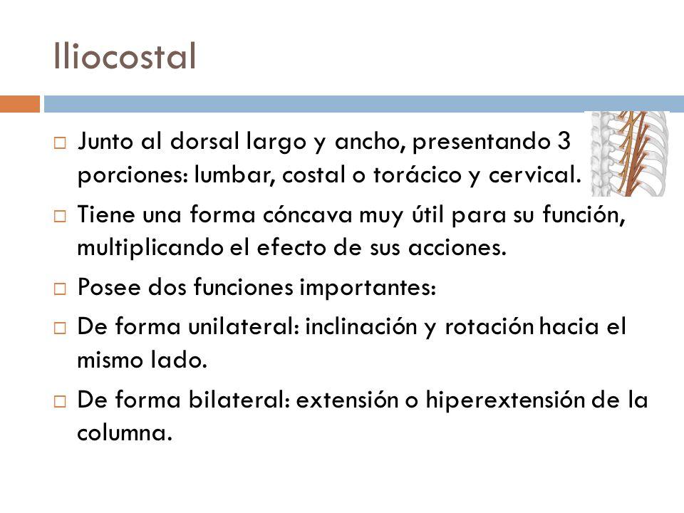 IliocostalJunto al dorsal largo y ancho, presentando 3 porciones: lumbar, costal o torácico y cervical.