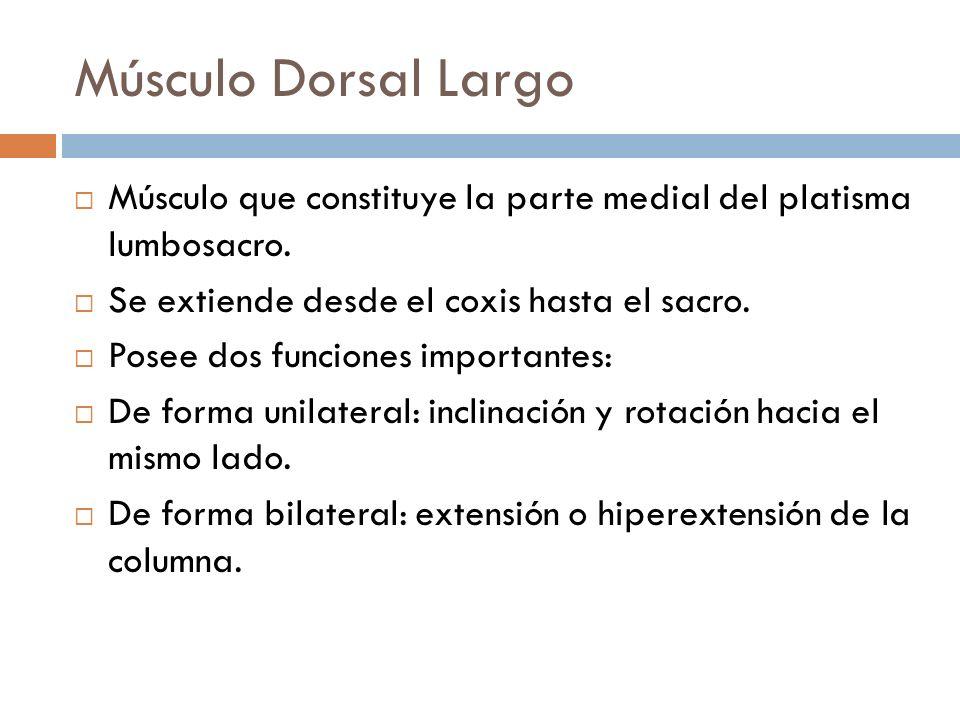 Músculo Dorsal LargoMúsculo que constituye la parte medial del platisma lumbosacro. Se extiende desde el coxis hasta el sacro.