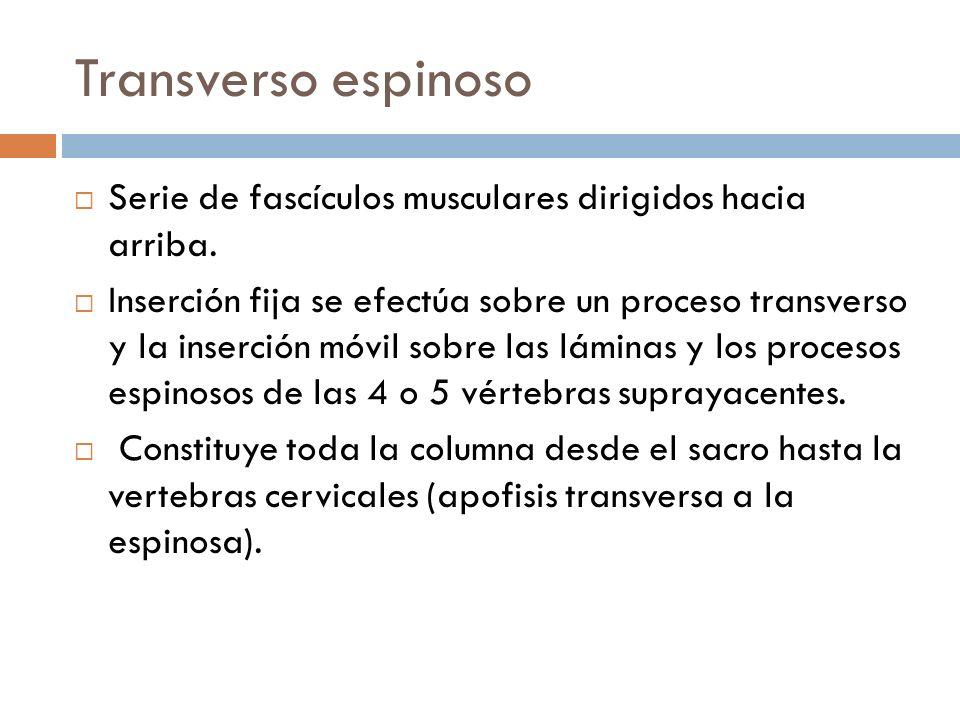 Transverso espinosoSerie de fascículos musculares dirigidos hacia arriba.