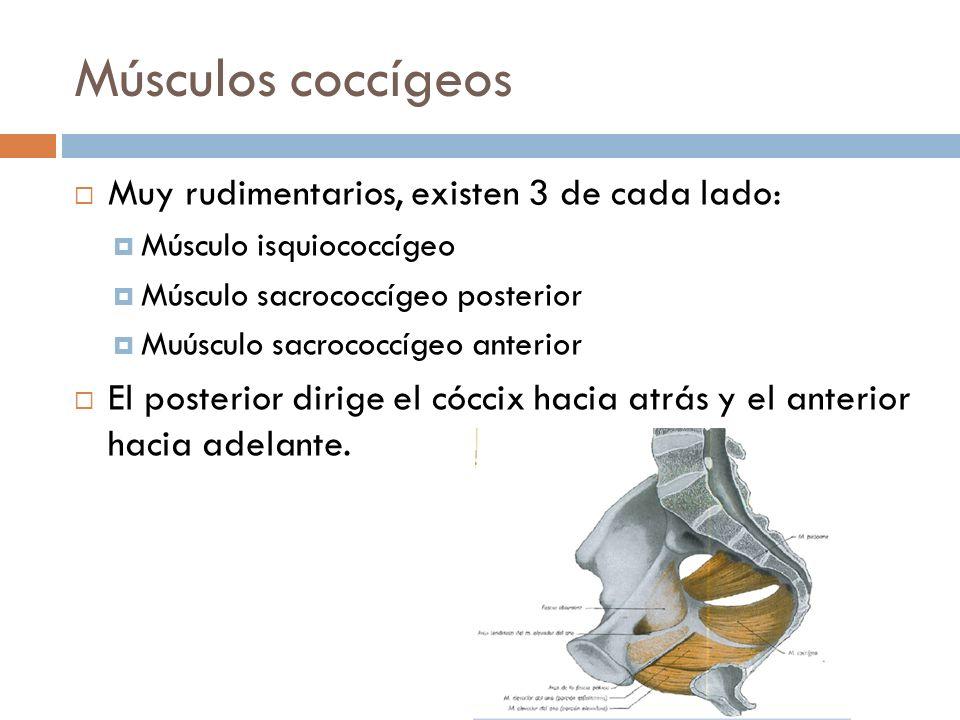 Músculos coccígeos Muy rudimentarios, existen 3 de cada lado: