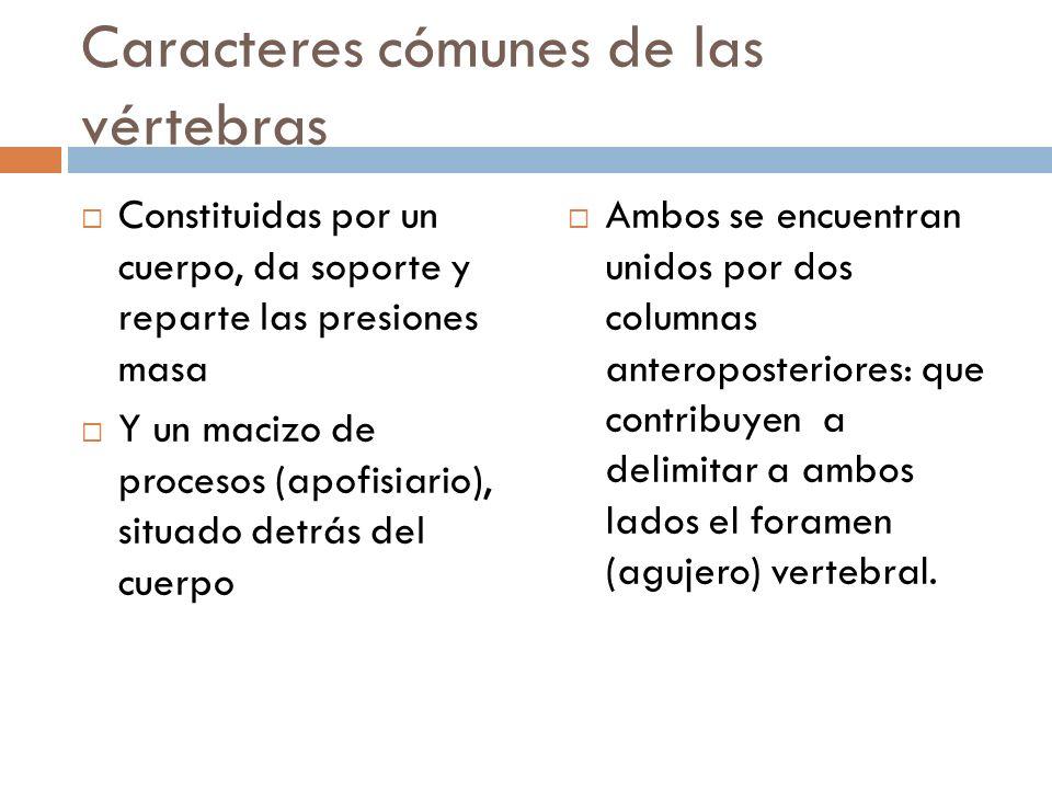 Caracteres cómunes de las vértebras