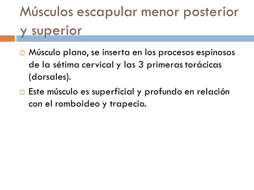 Músculos escapular menor posterior y superior