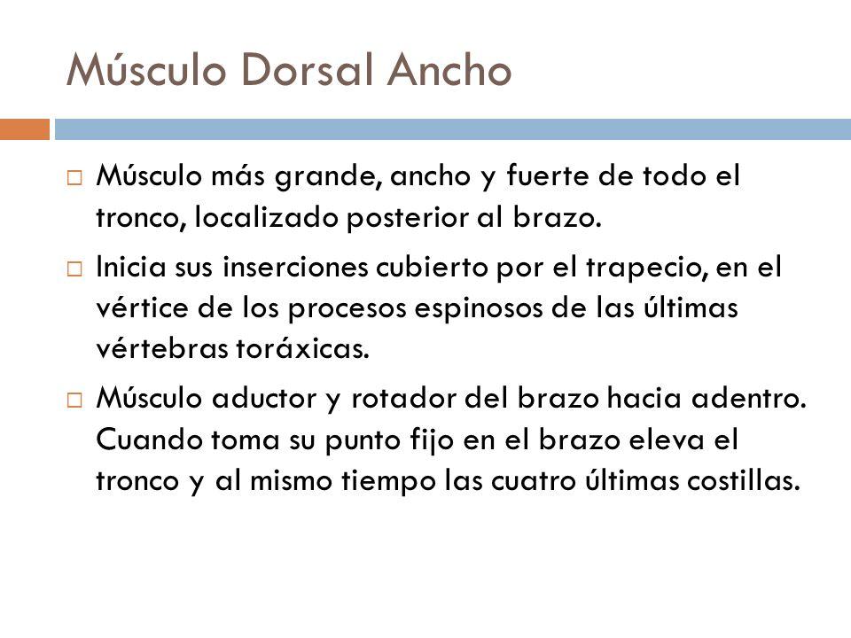 Músculo Dorsal AnchoMúsculo más grande, ancho y fuerte de todo el tronco, localizado posterior al brazo.