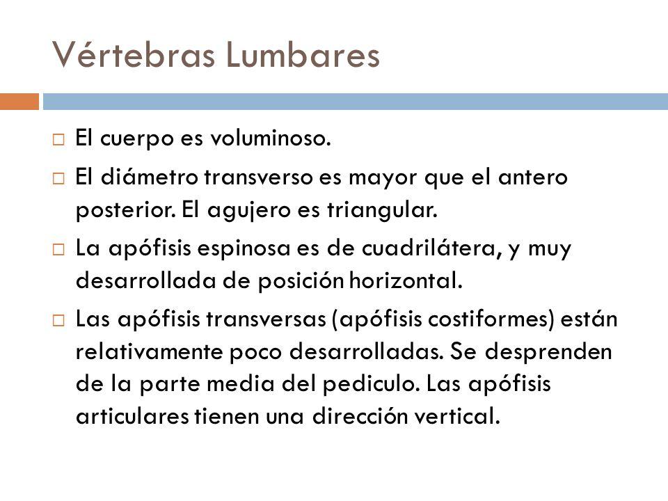 Vértebras Lumbares El cuerpo es voluminoso.