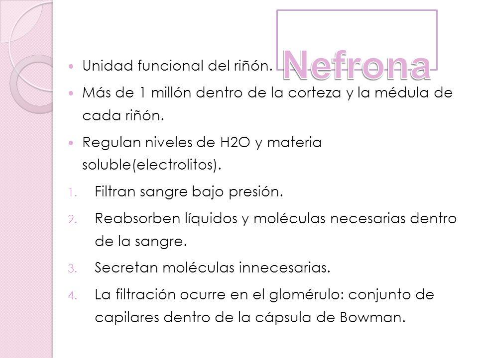 Nefrona Unidad funcional del riñón.