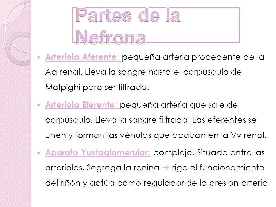 Partes de la Nefrona
