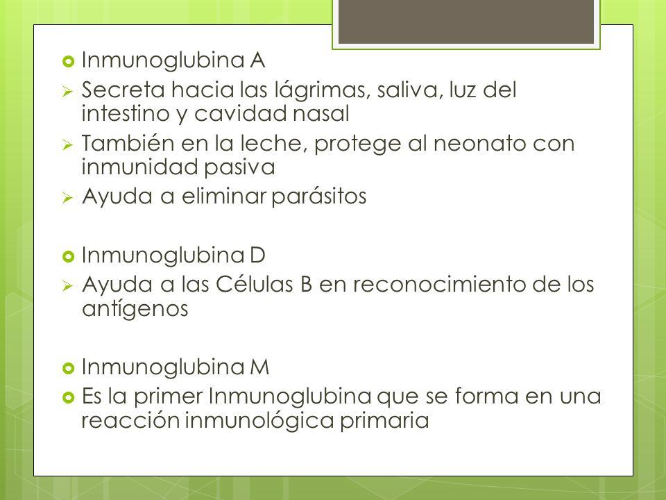Inmunoglubina A Secreta hacia las lágrimas, saliva, luz del intestino y cavidad nasal. También en la leche, protege al neonato con inmunidad pasiva.