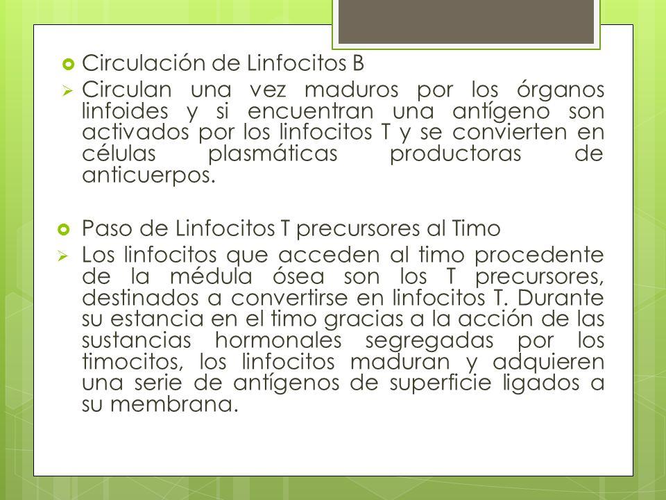 Circulación de Linfocitos B
