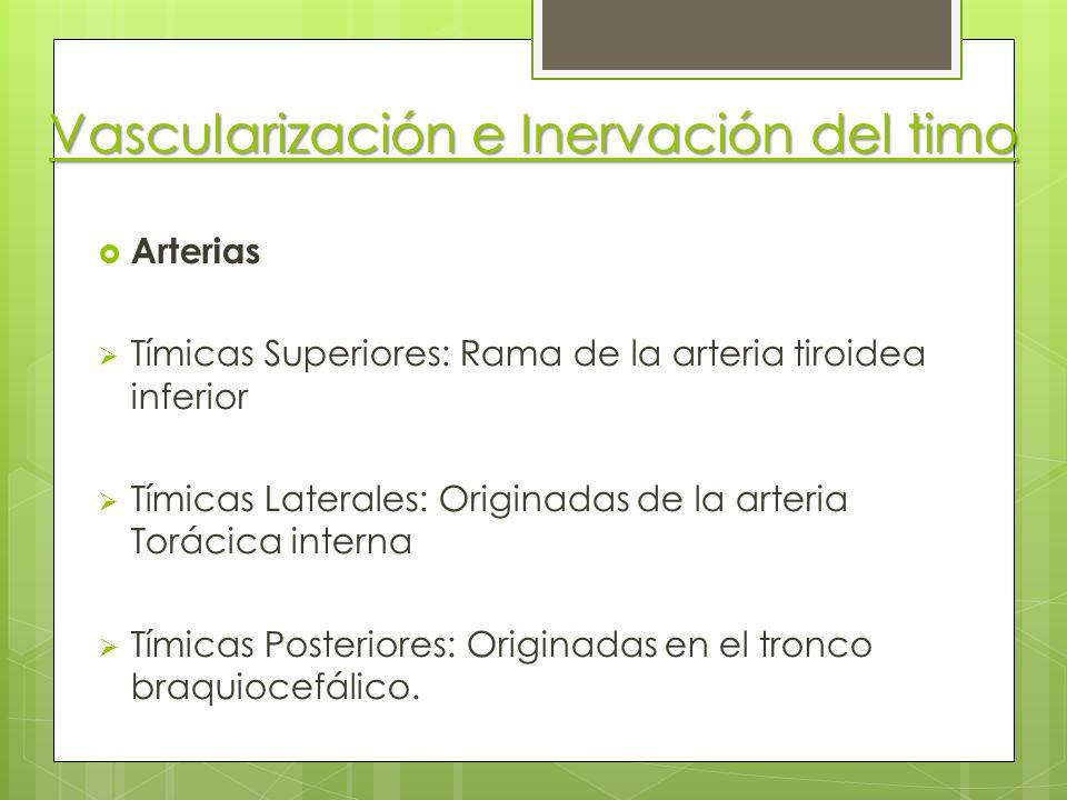 Vascularización e Inervación del timo