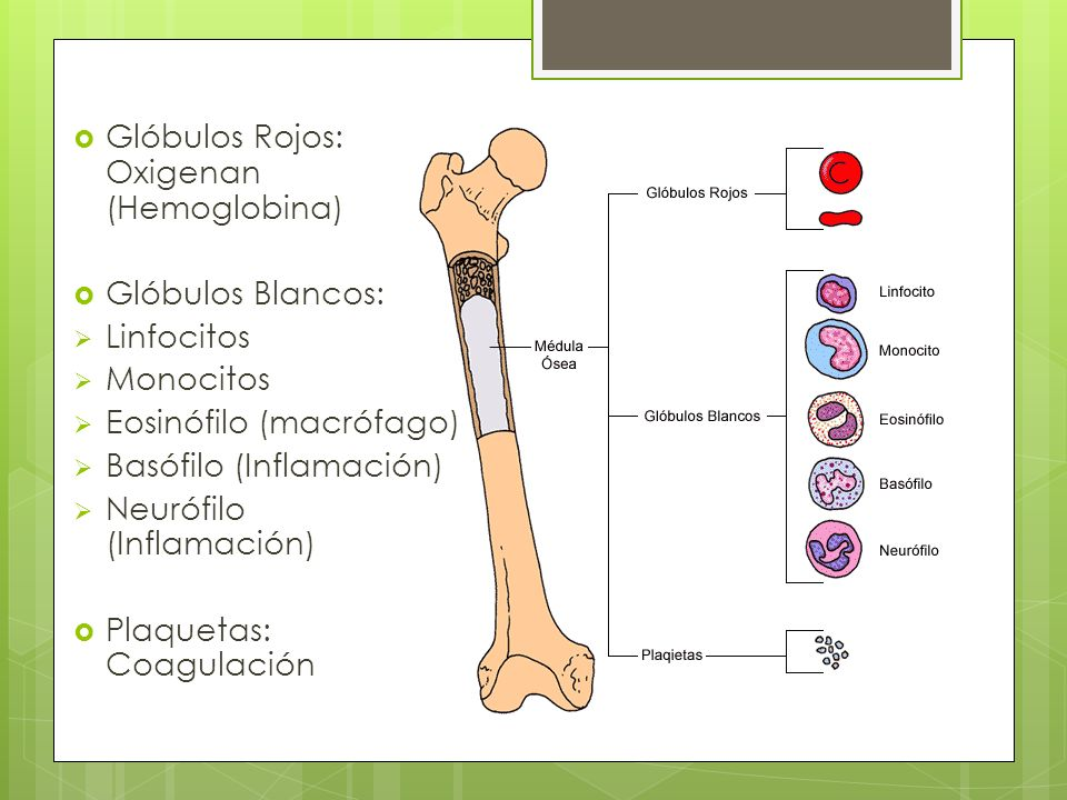 Glóbulos Rojos: Oxigenan (Hemoglobina)