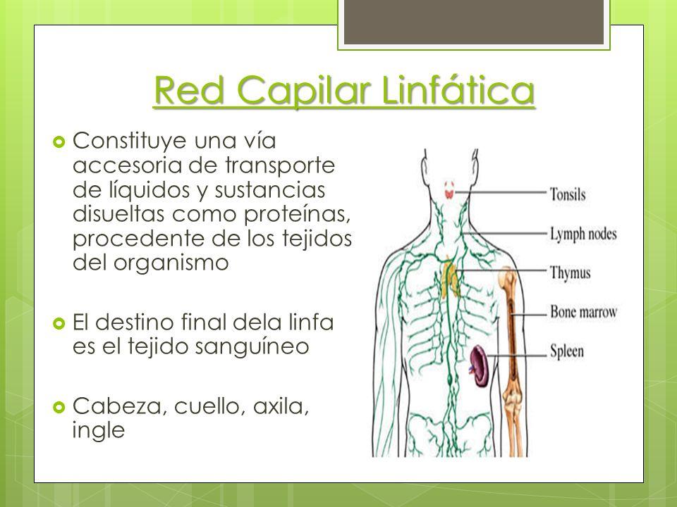 Red Capilar Linfática
