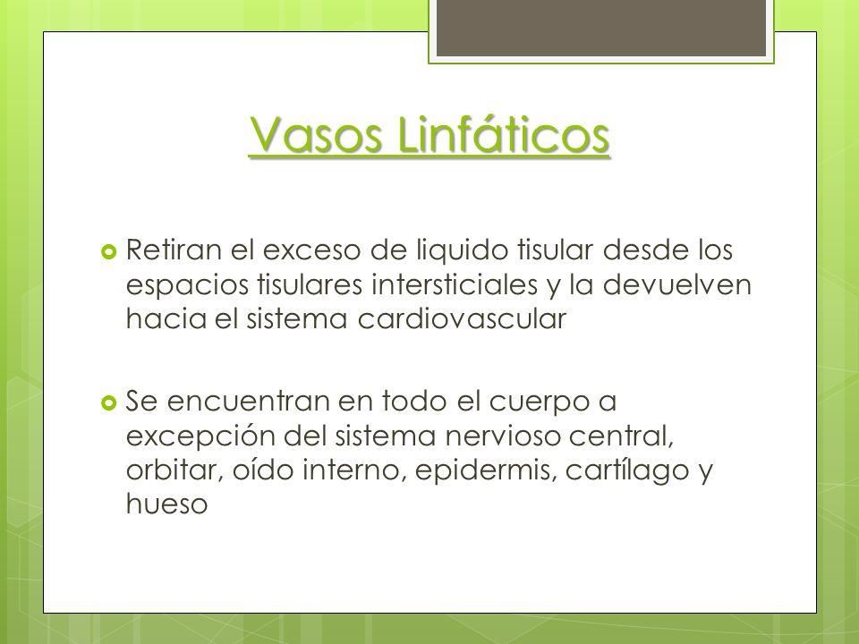 Vasos Linfáticos Retiran el exceso de liquido tisular desde los espacios tisulares intersticiales y la devuelven hacia el sistema cardiovascular.