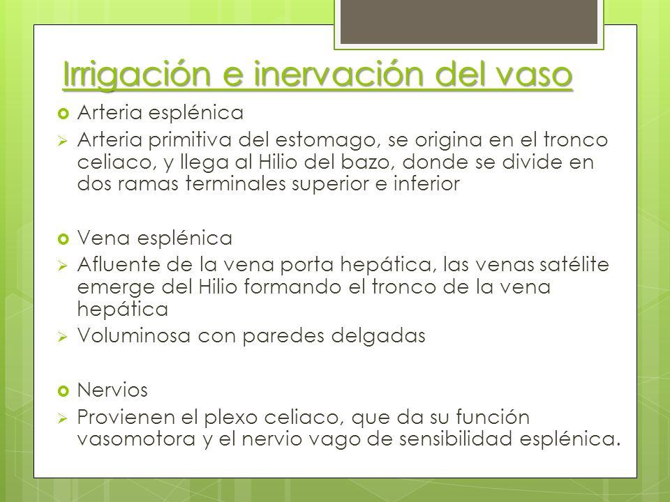 Irrigación e inervación del vaso