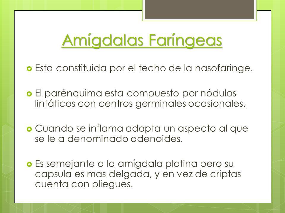Amígdalas Faríngeas Esta constituida por el techo de la nasofaringe.