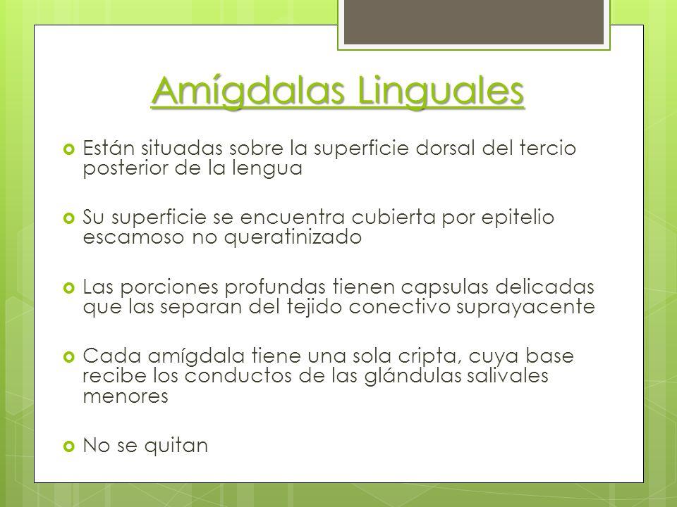 Amígdalas Linguales Están situadas sobre la superficie dorsal del tercio posterior de la lengua.