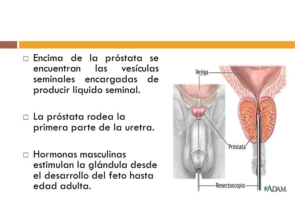Encima de la próstata se encuentran las vesículas seminales encargadas de producir liquido seminal.