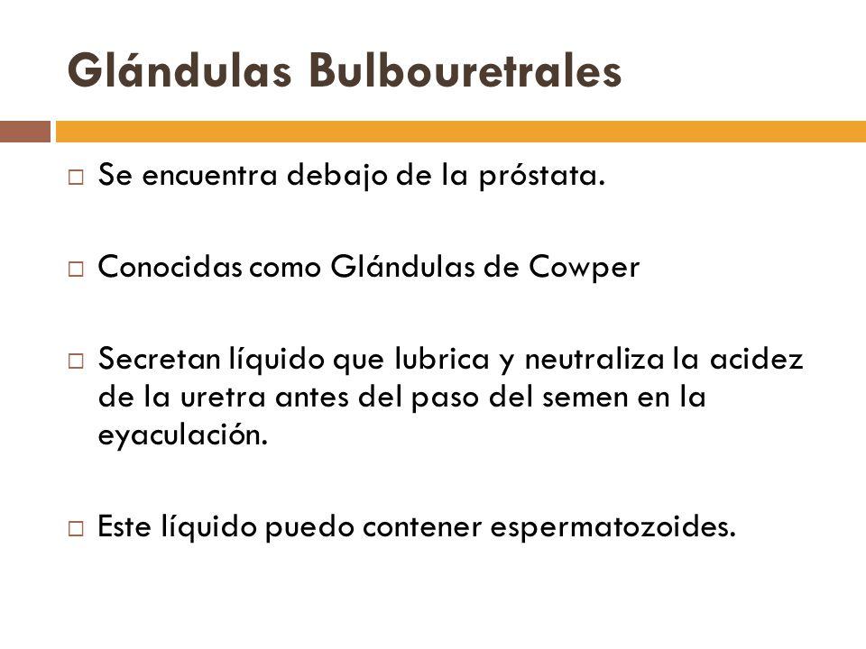 Glándulas Bulbouretrales