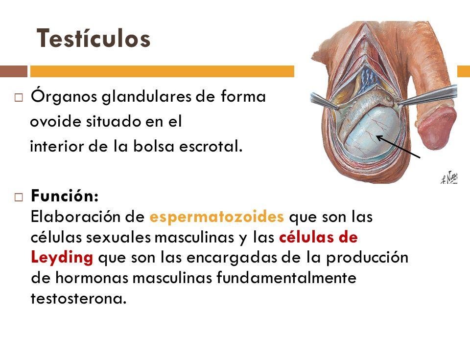 Testículos Órganos glandulares de forma ovoide situado en el