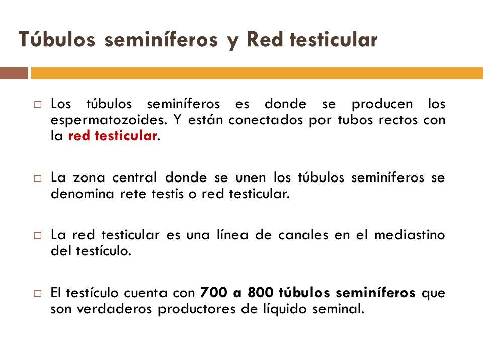 Túbulos seminíferos y Red testicular