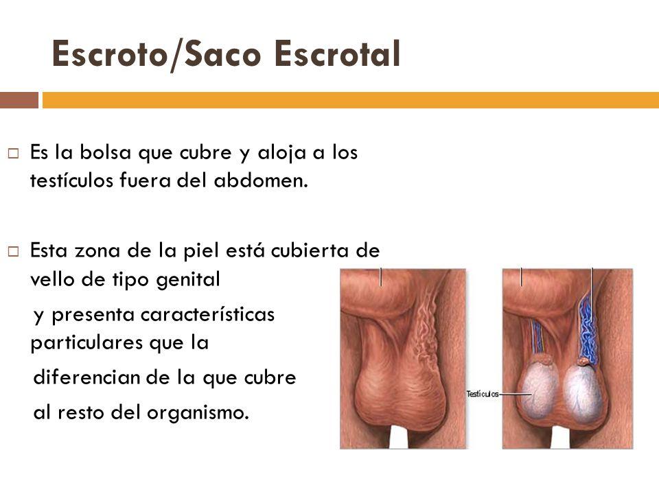 Escroto/Saco Escrotal