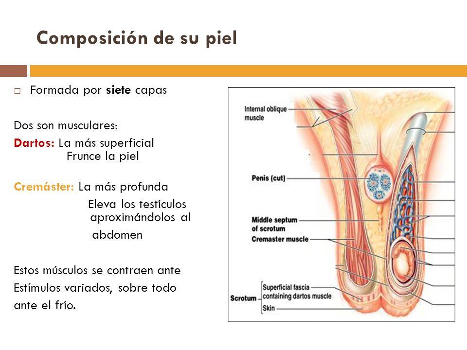Composición de su piel Formada por siete capas Dos son musculares: