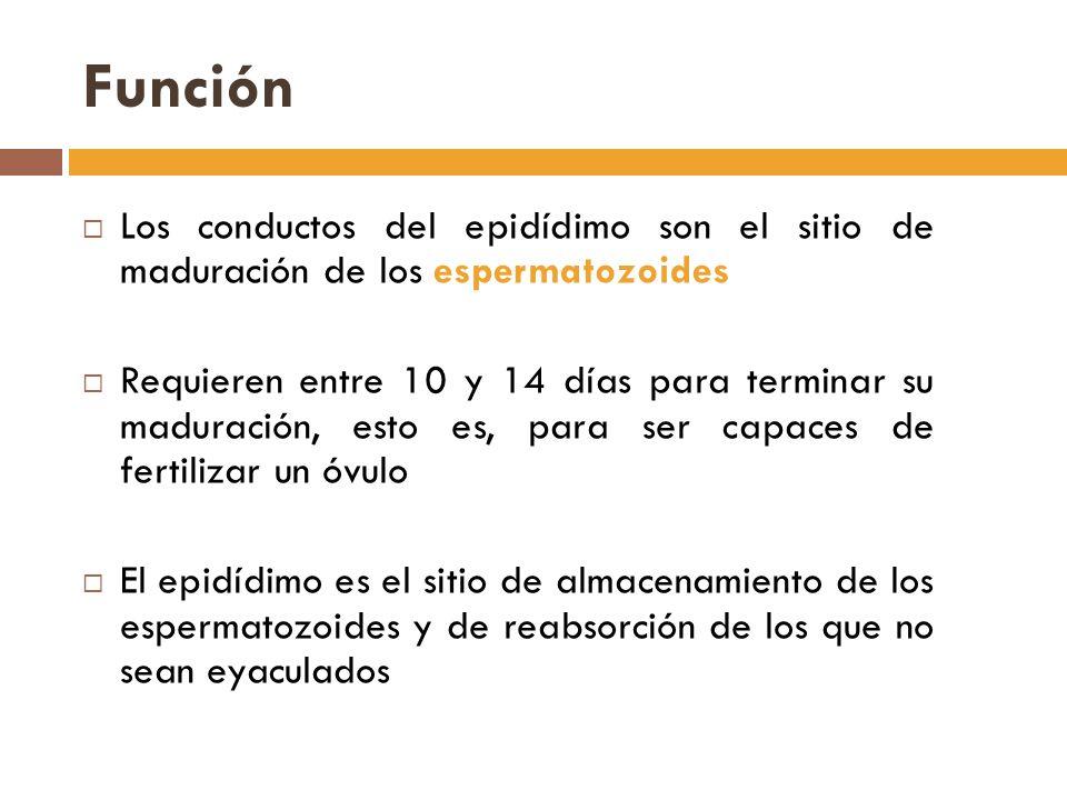 Función Los conductos del epidídimo son el sitio de maduración de los espermatozoides.