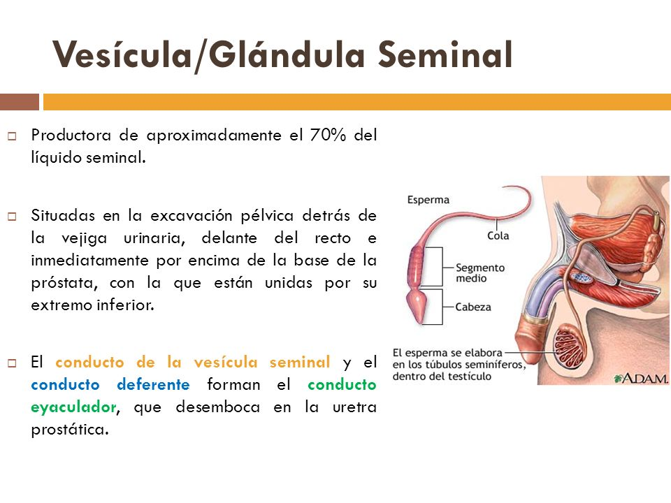 Vesícula/Glándula Seminal