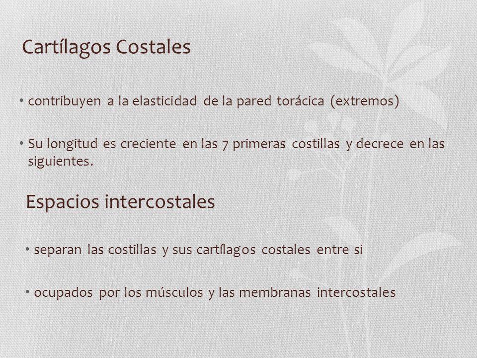 Cartílagos Costales Espacios intercostales