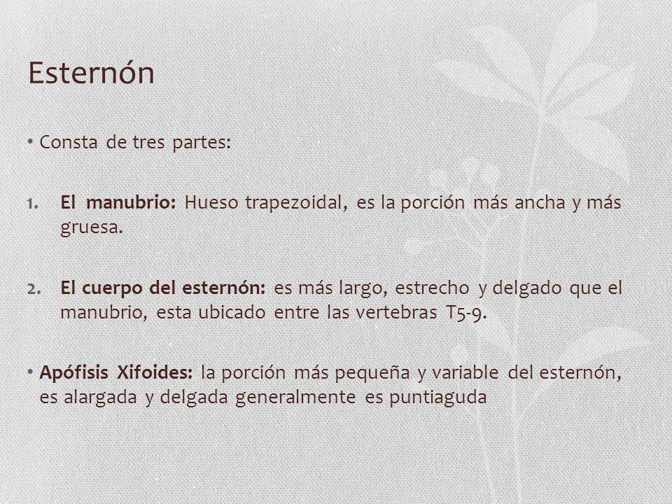 Esternón Consta de tres partes: