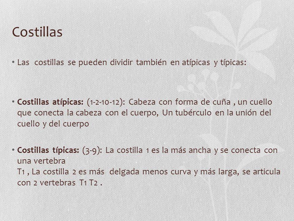 Costillas Las costillas se pueden dividir también en atípicas y típicas: