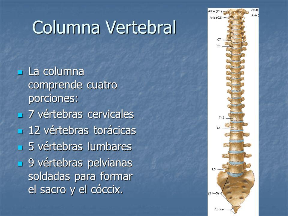 Columna Vertebral La columna comprende cuatro porciones: