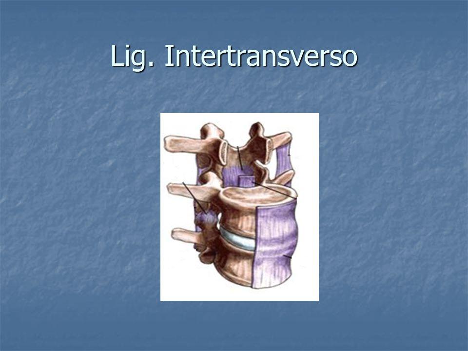 Lig. Intertransverso