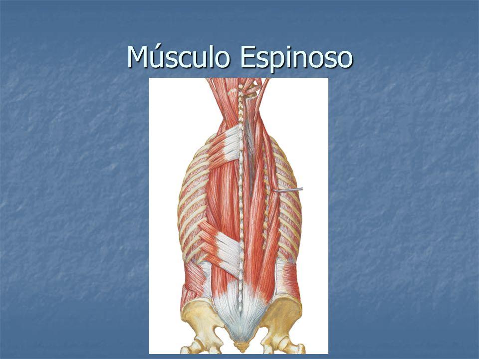 Músculo Espinoso
