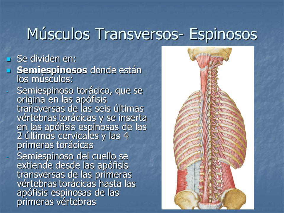 Músculos Transversos- Espinosos
