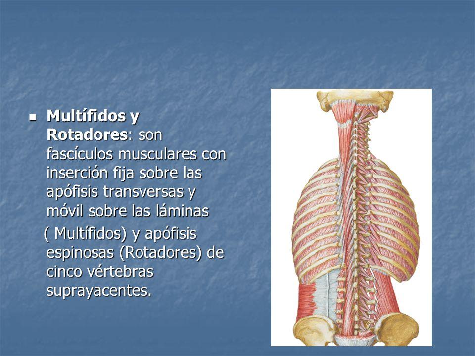 Multífidos y Rotadores: son fascículos musculares con inserción fija sobre las apófisis transversas y móvil sobre las láminas