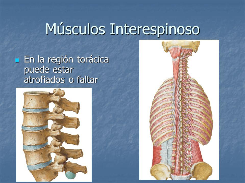 Músculos Interespinoso