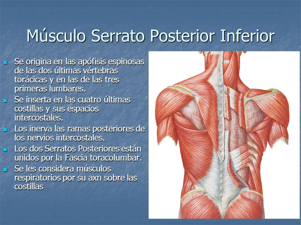 Miozit de los músculos sobre la espalda - Contracturas musculares ...